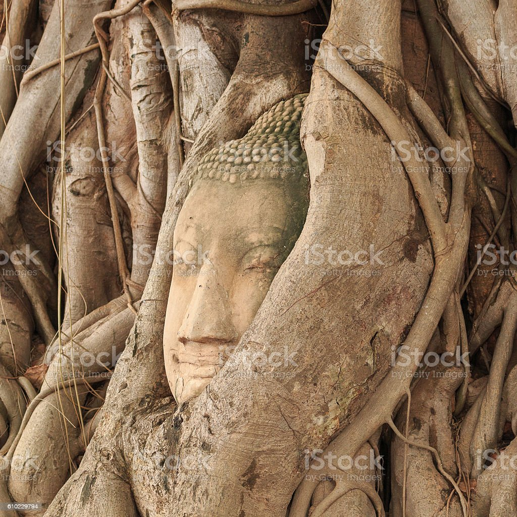 Buddha head in tree stock photo