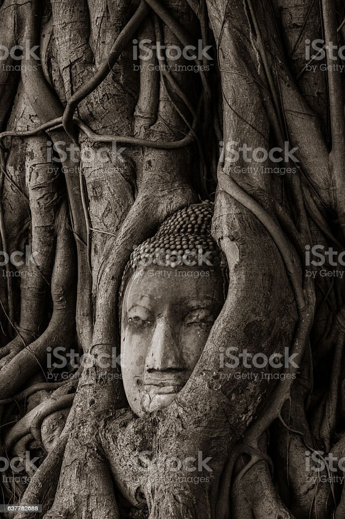 buddha head in tree stock photo