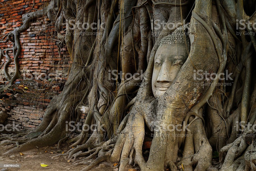 Buddha head in tree roots stock photo
