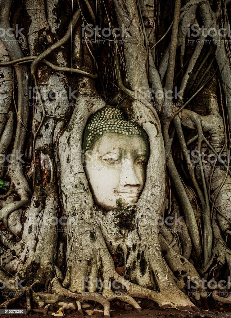 Buddha Head statue embed in tree roots stock photo