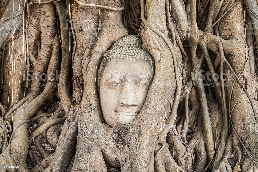 Buddha head statue inside the bodhi tree stock photo