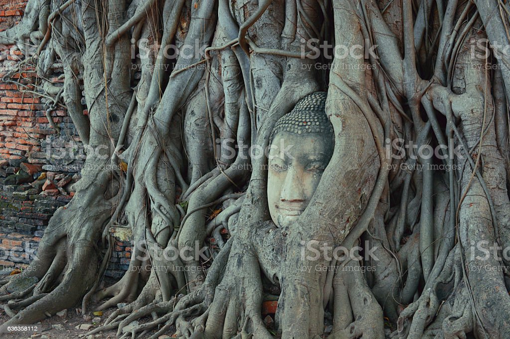 buddha head trapped in bodhi tree roots stock photo