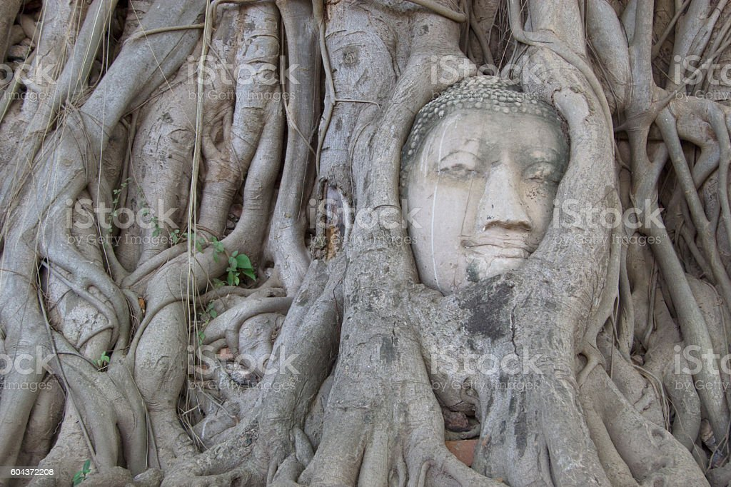 Buddha in tree roots stock photo