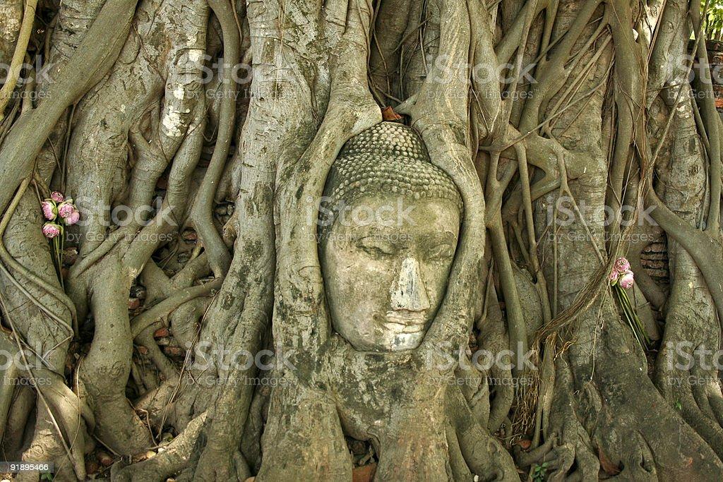 buddhas head banyan tree thailand royalty-free stock photo