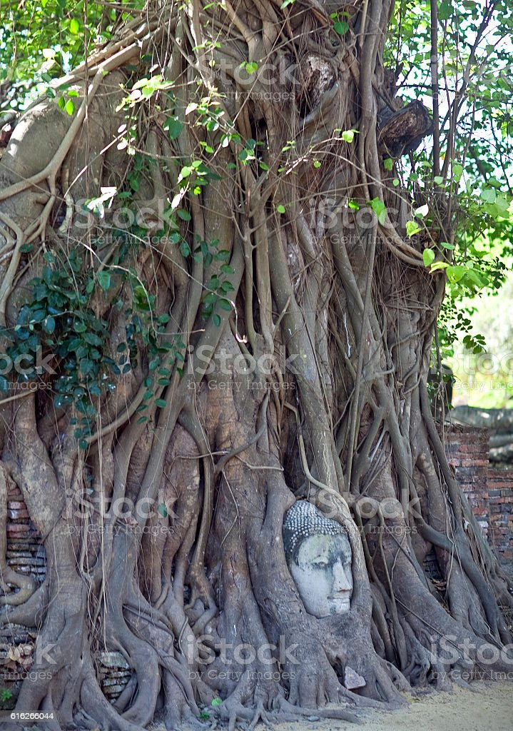Buddha's Head in Tree Roots in Ayutthaya, Thailand stock photo