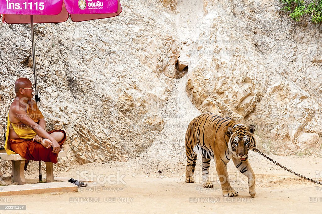 Buddhist monk with big cat at the Tiger Temple, Thailand stock photo