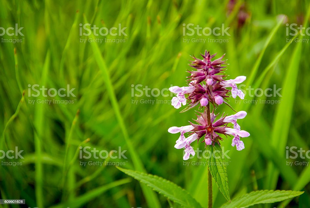 Budding and flowering common hedgenettle between grasses stock photo