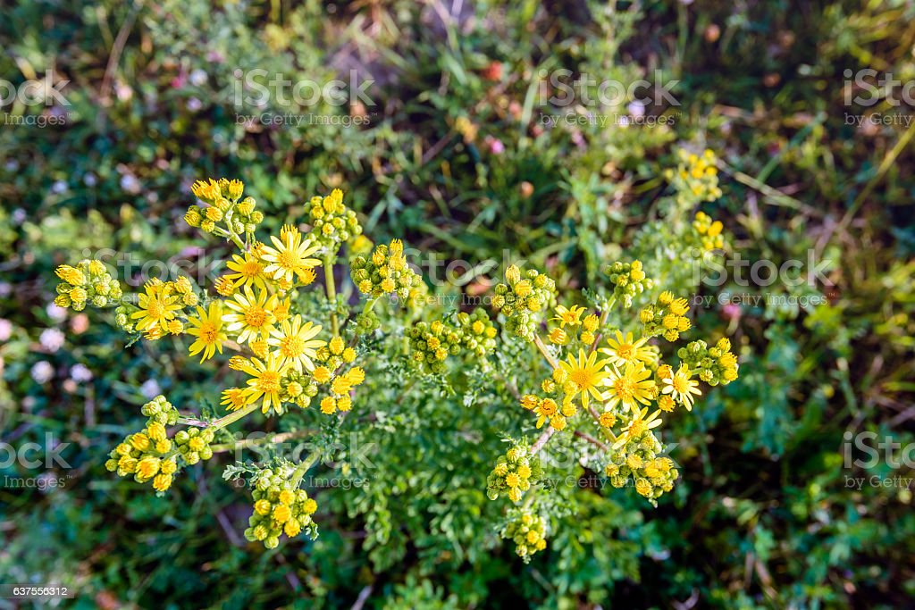 Budding and flowering common ragwort from close stock photo