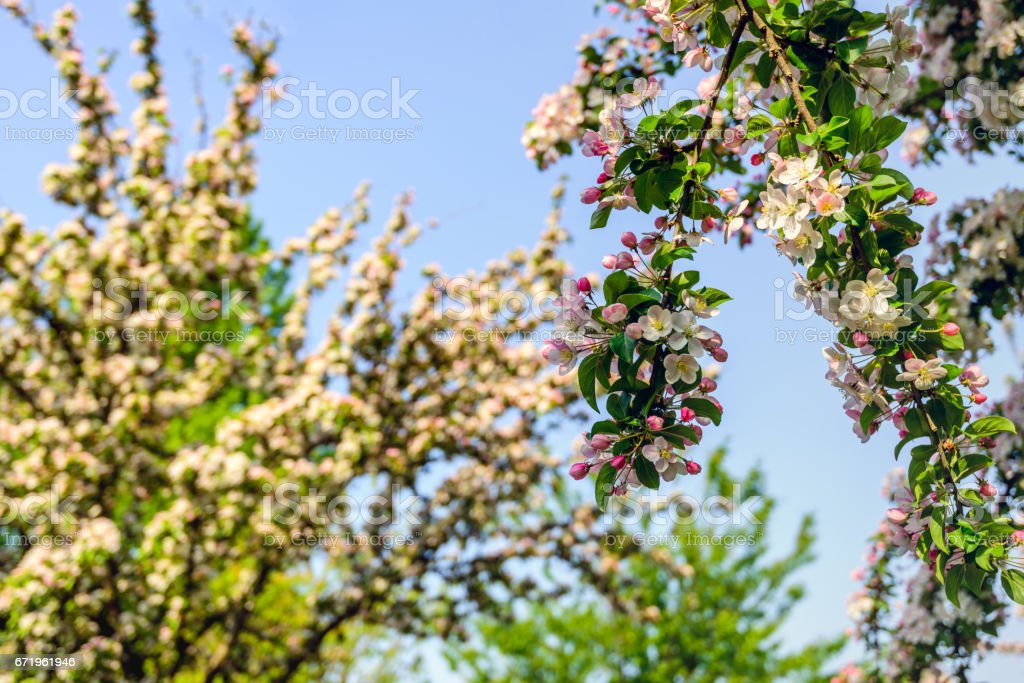 Budding and flowering crab apple blooms from close stock photo