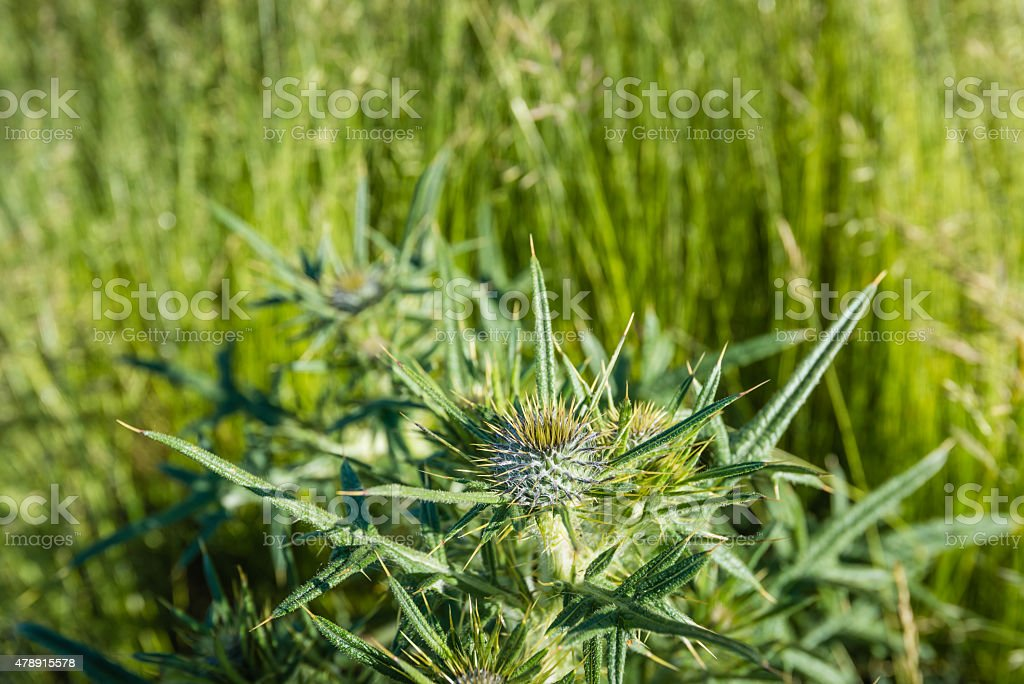 Budding and flowering field eryngo plant from close stock photo
