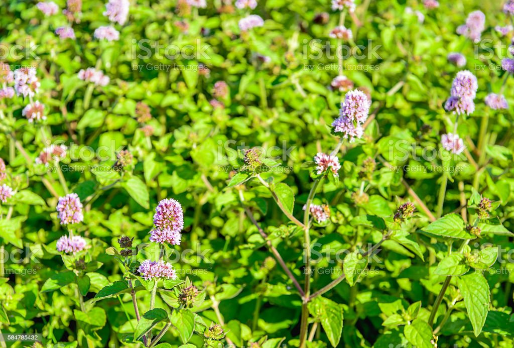 Budding and lilac flowering water mint plants from close stock photo