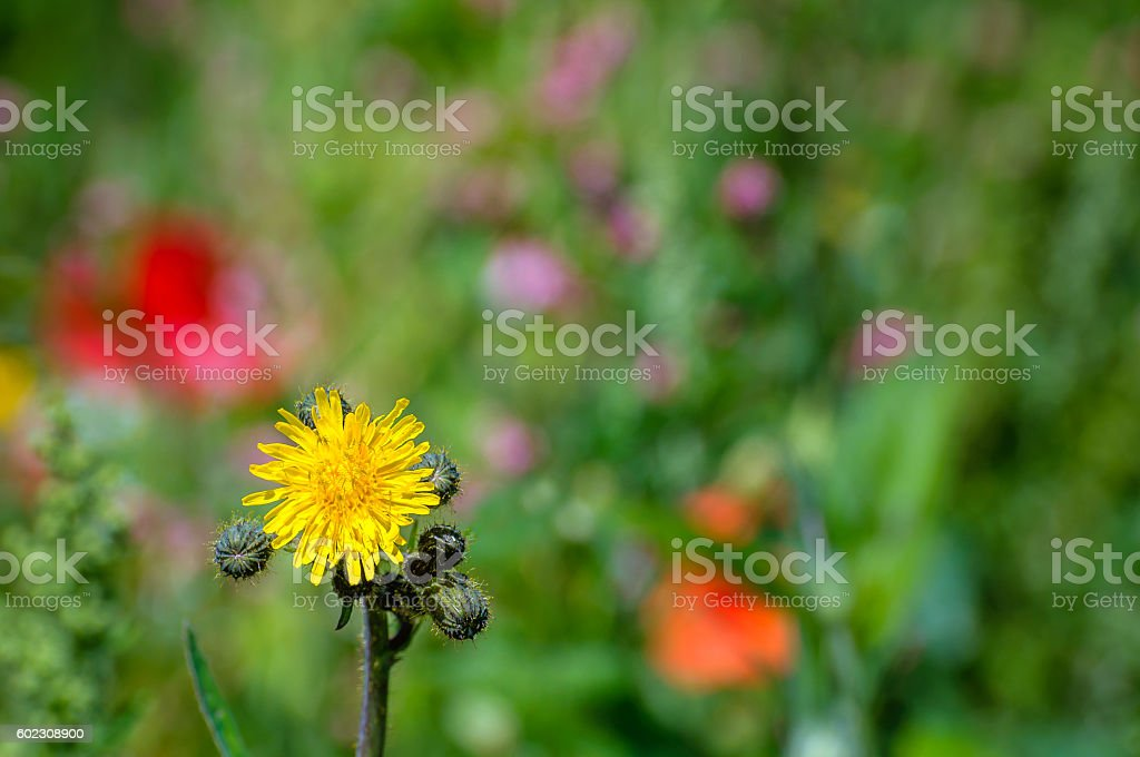 Budding and yellow blooming field milk thistle from close stock photo