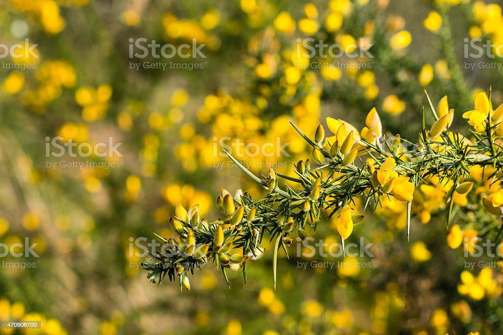 Budding branch of a Common broom shrub stock photo