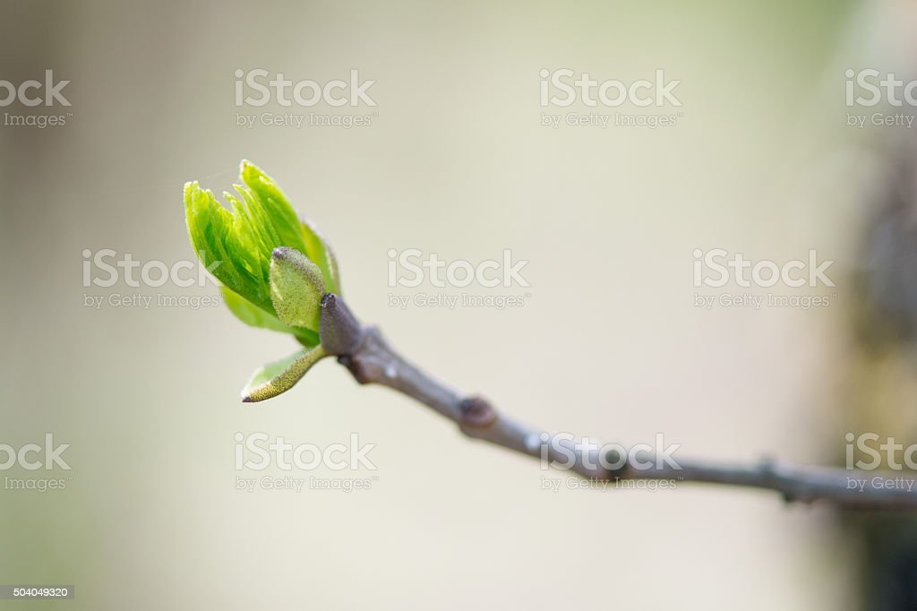 budding branches in the spring against the blue sky stock photo