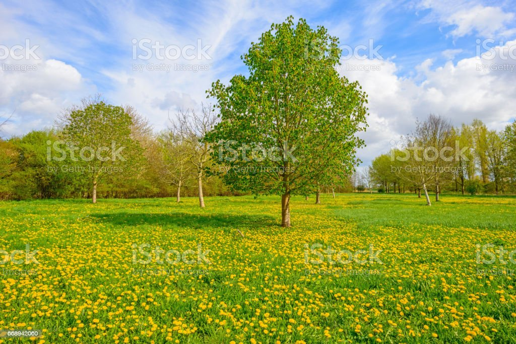 Budding chestnut tree in a field in spring stock photo