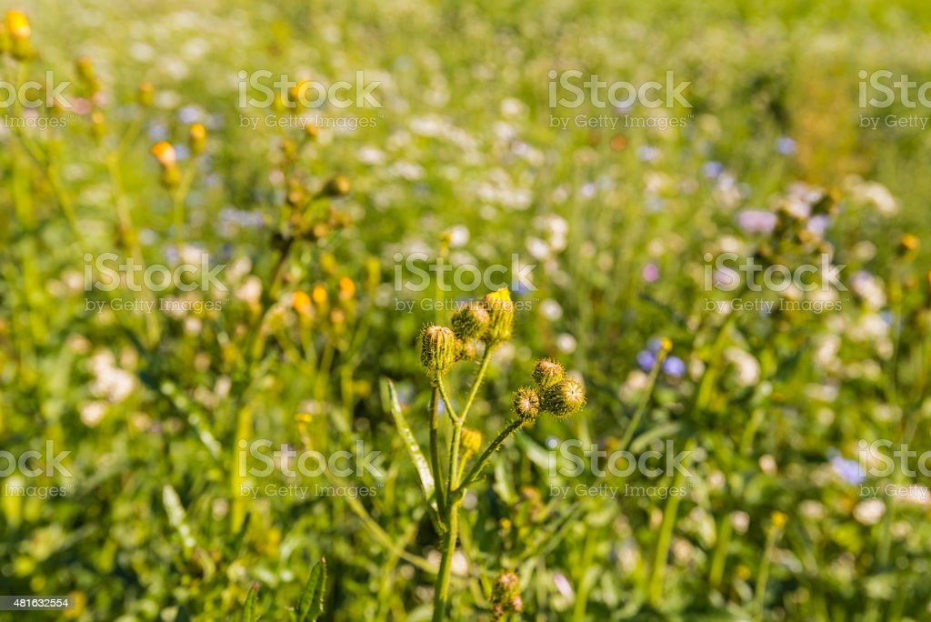 Budding corn sow thistle between blurred other wild flowers stock photo