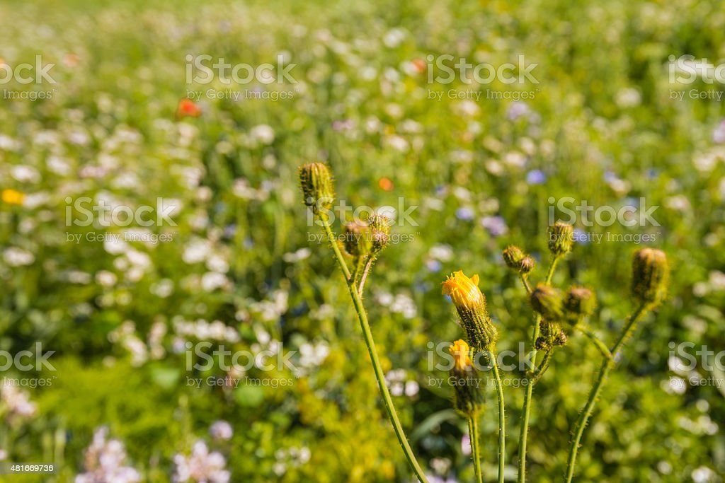 Budding dindle between blurred other wild flowers stock photo