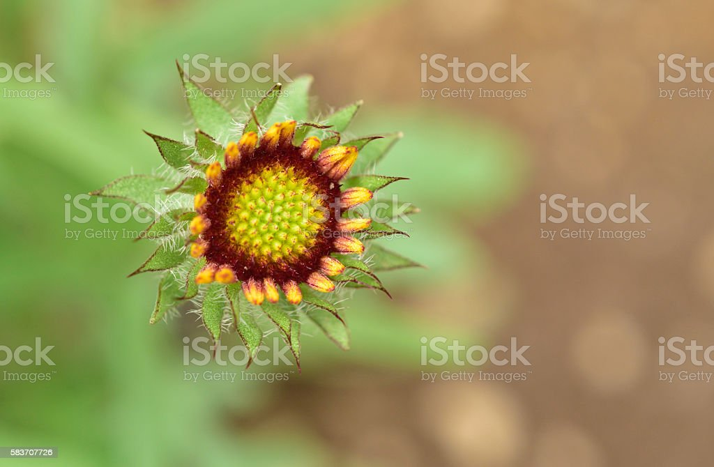 Budding Goblin Flower stock photo