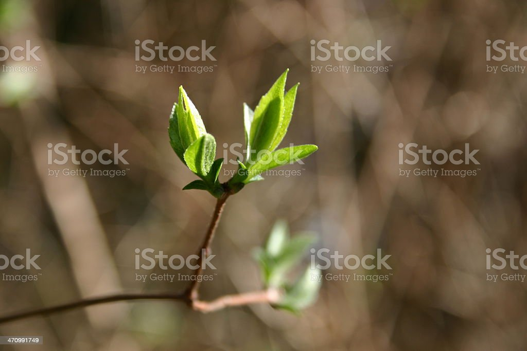 Budding green leaves royalty-free stock photo