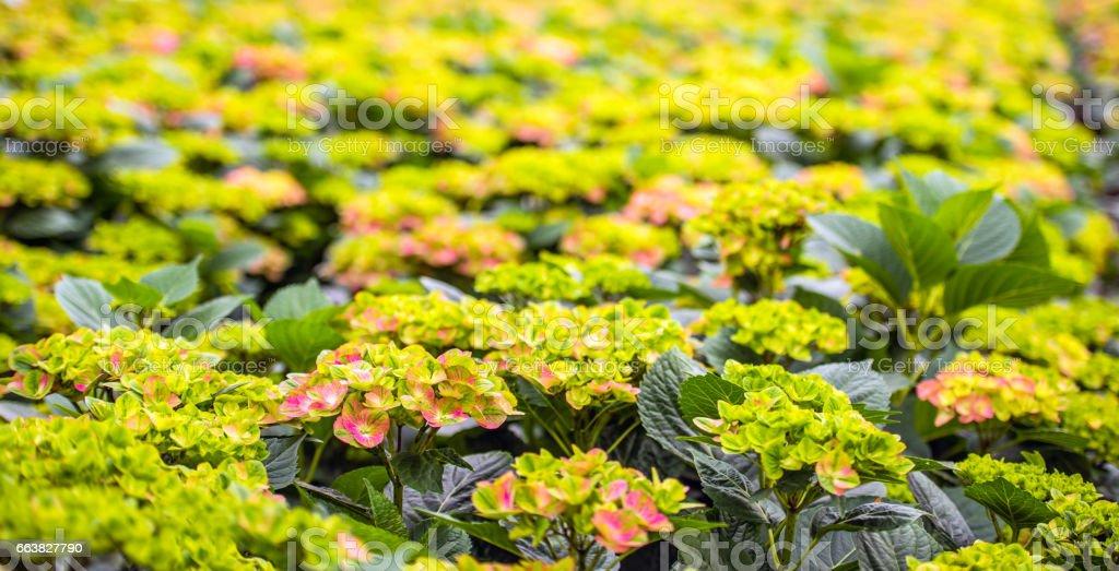 Budding Hydrangea flowers in the glasshouse of a Hydrangea cut flower nursery stock photo
