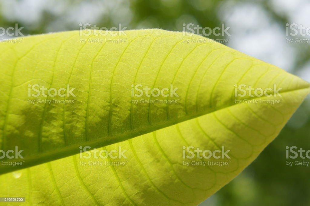 Budding magnolia stock photo