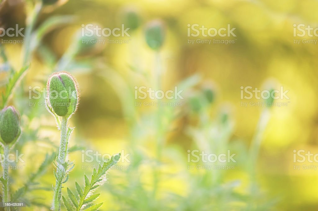 Budding poppies royalty-free stock photo