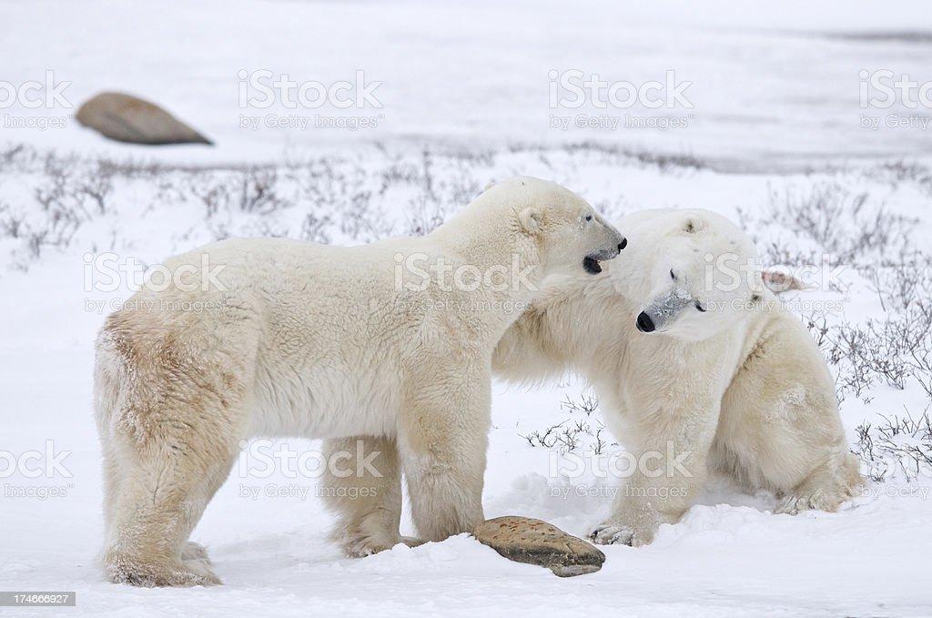 Buddy Polars stock photo