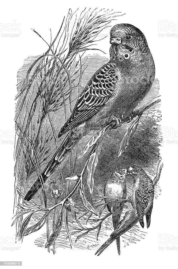Budgerigar bird engraving 1880 stock photo