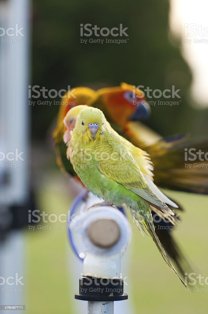 Budgerigar bird stock photo
