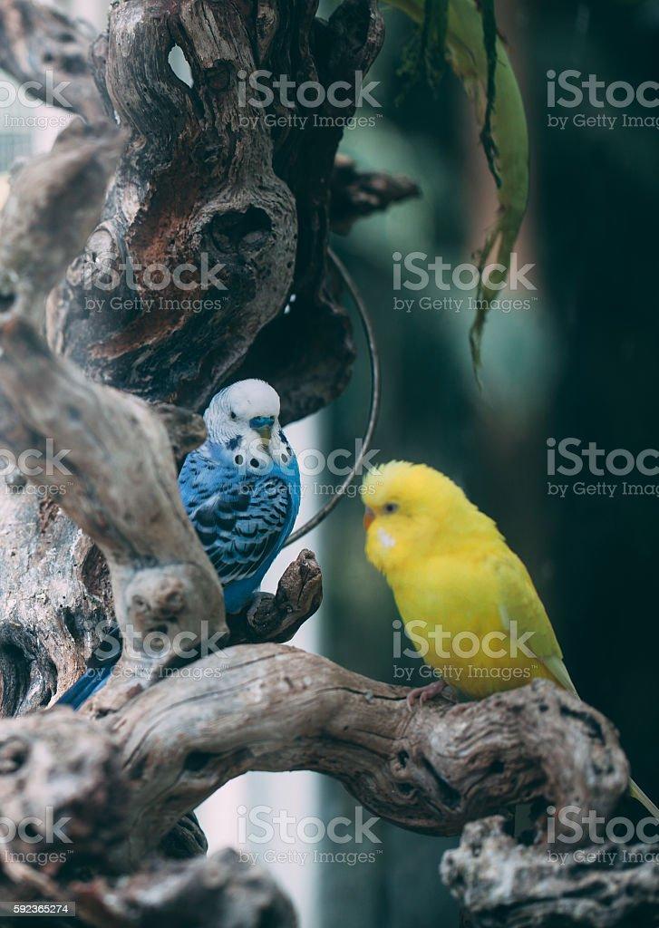 Budgerigar Birds stock photo