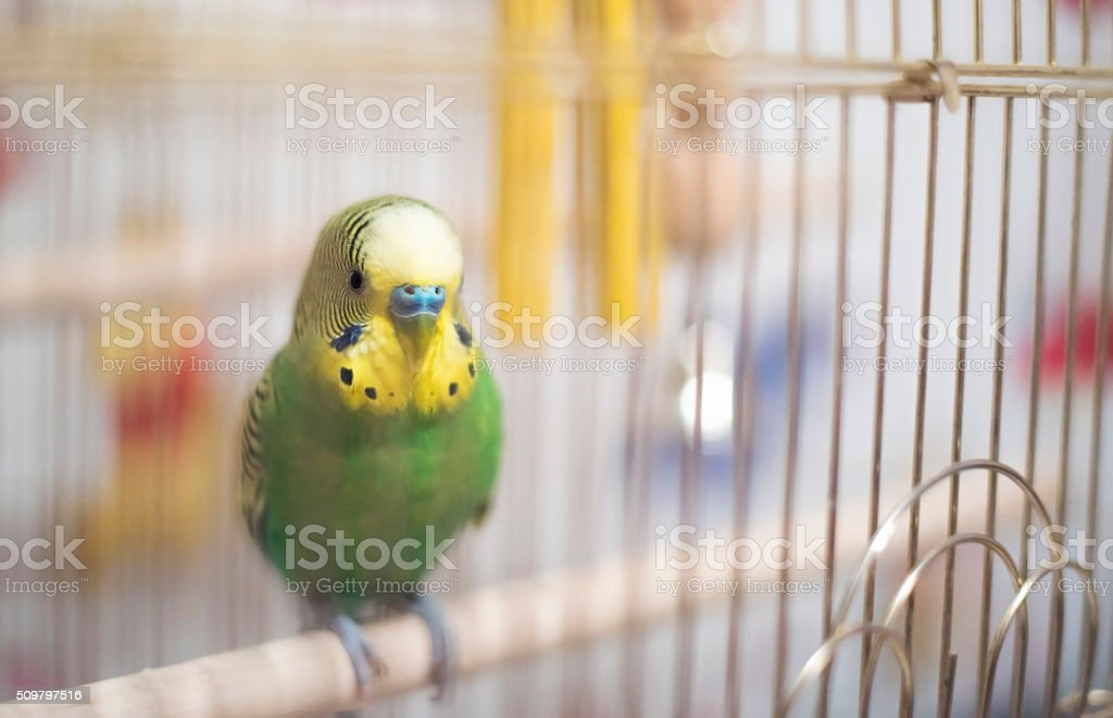 Budgerigar in the birdcage.Soft focus. stock photo