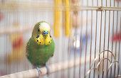 Budgerigar in the birdcage.Soft focus.