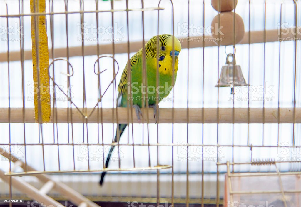 Budgerigar in the its cage. Budgie stock photo
