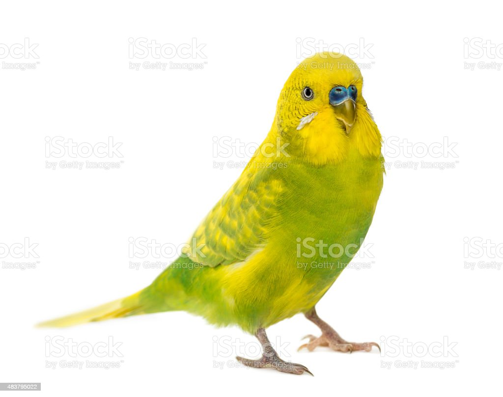 Budgerigar, Melopsittacus undulatus, in front of a white backgro stock photo