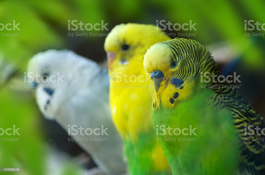 Budgerigar or Budgies sitting on a twig stock photo