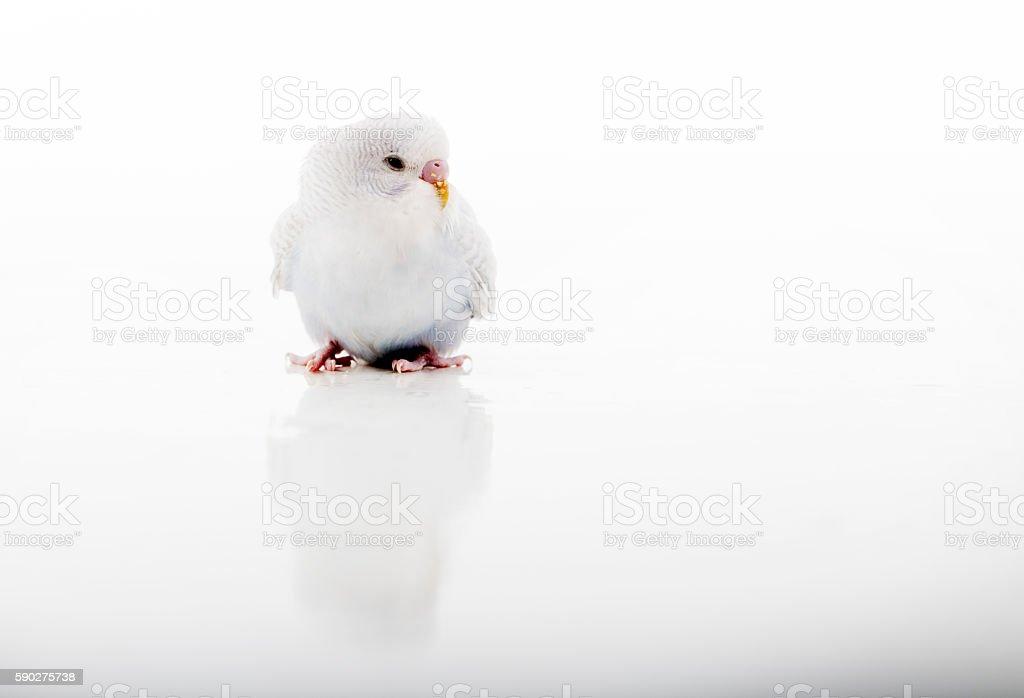 Budgerigar, parakeet. stock photo