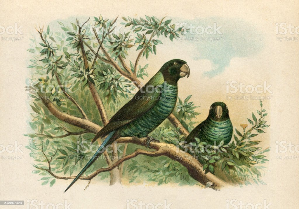 Budgerigar parrot in rainforest engraving 1880 stock photo