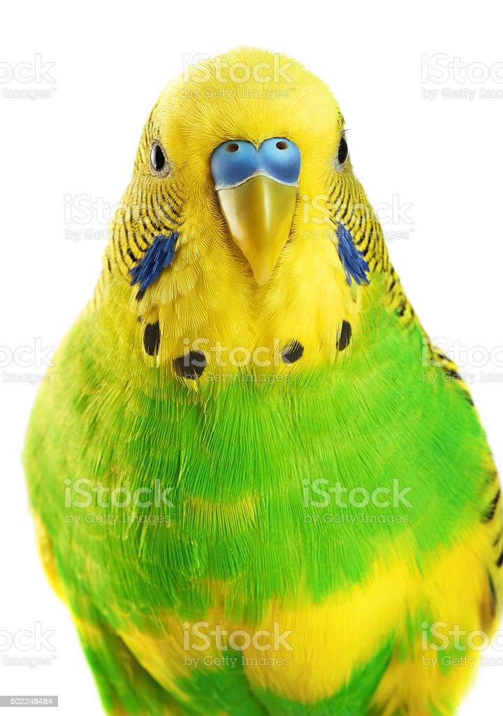Budgerigar. Parrot isolated on white background. stock photo