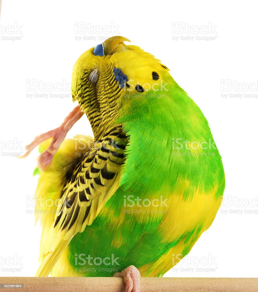 Budgerigar. Parrot isolated on white background. stock photo