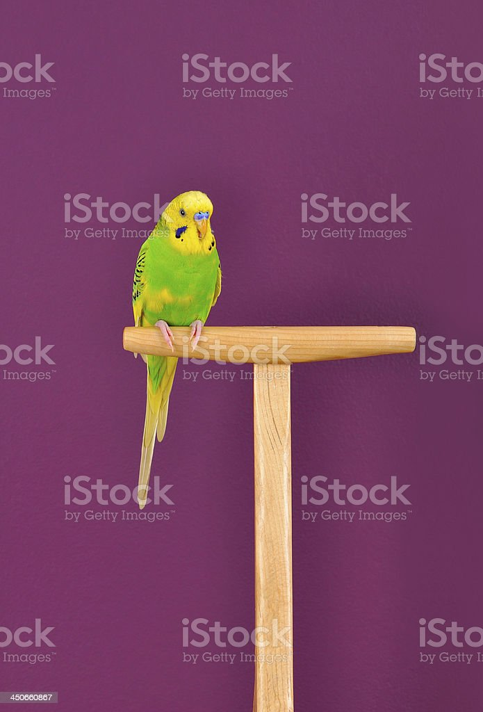 Budgerigar parrot perched on a stand royalty-free stock photo
