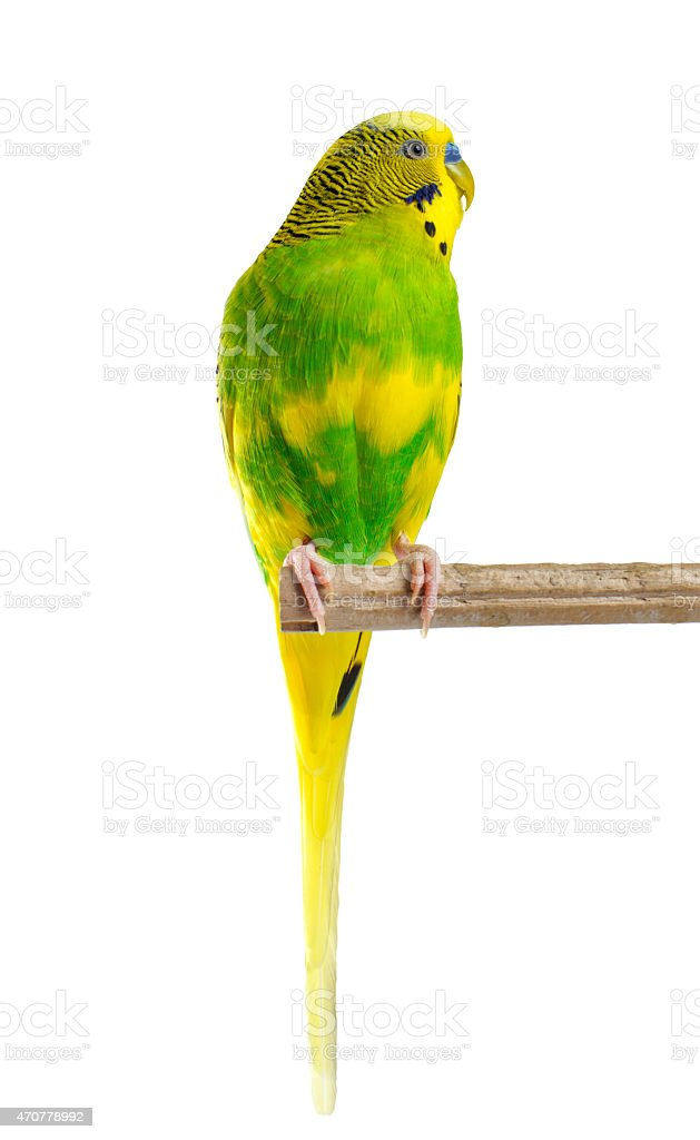 Budgerigar. Parrot. stock photo