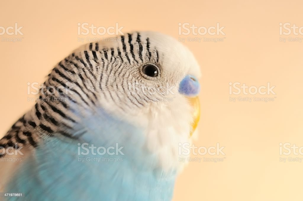 budgerigar stock photo