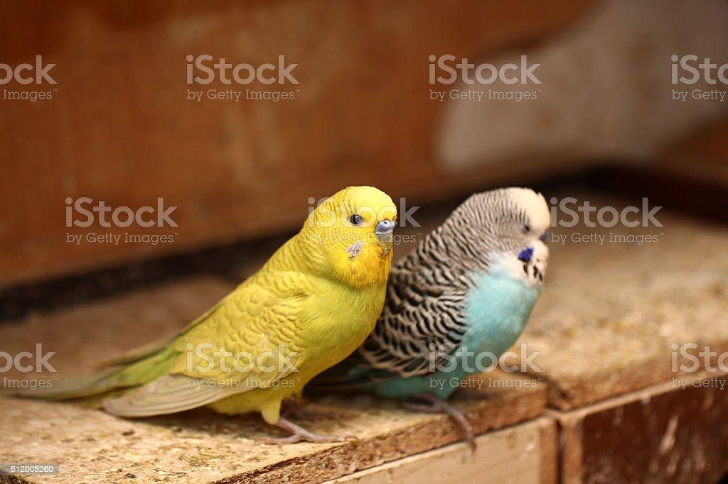 Budgie Birds stock photo