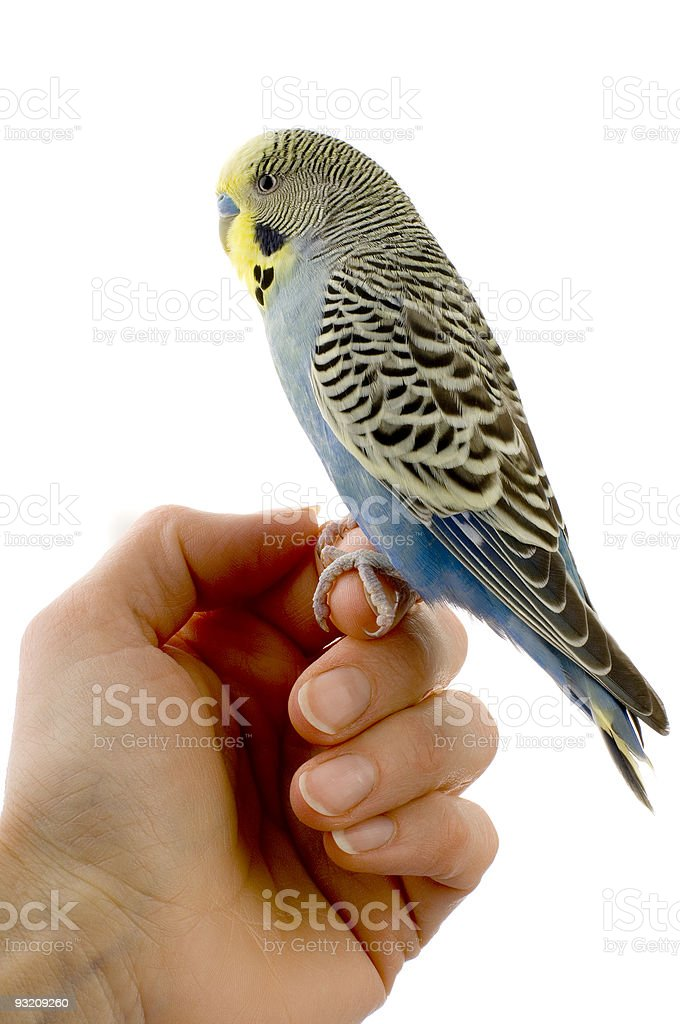 budgie on a hand stock photo