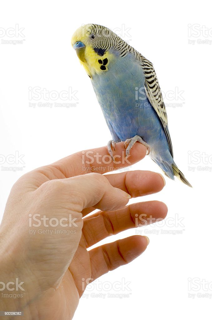 budgie on a hand royalty-free stock photo