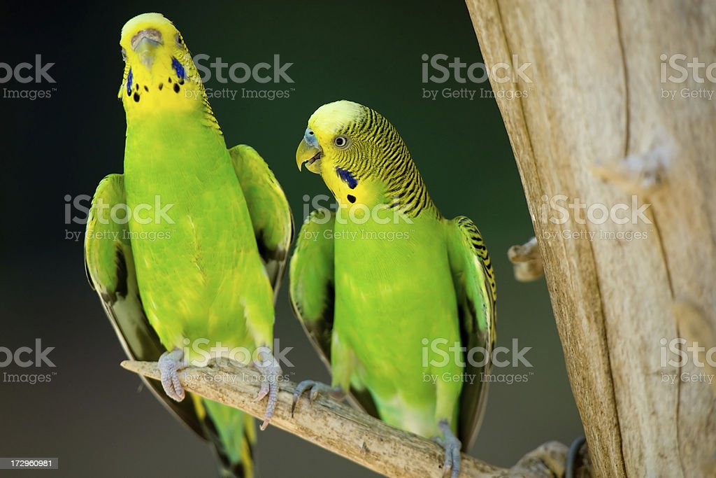 Budgie Parakeets stock photo