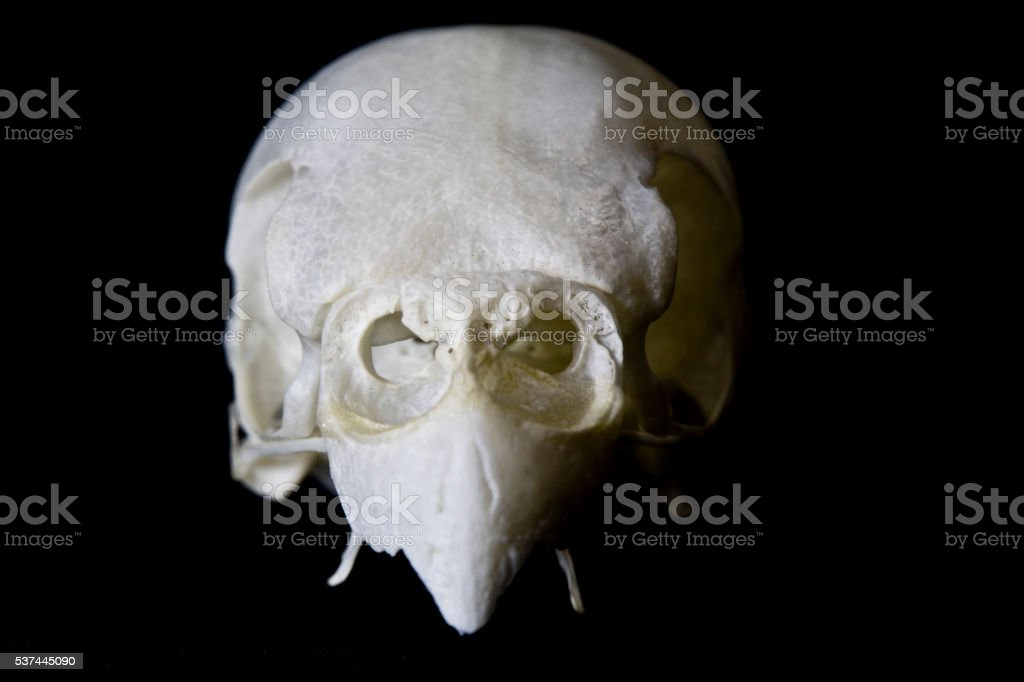 Budgie Skull on Black Background stock photo