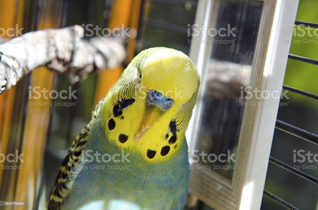Budgie with overgrown beak stock photo