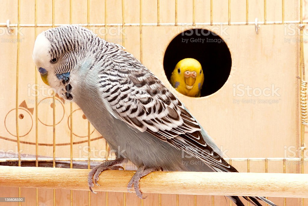 Budgies royalty-free stock photo