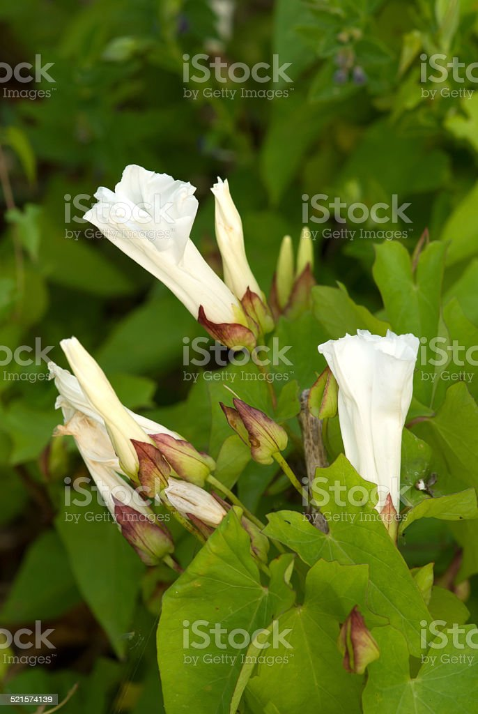 Buds and flowers of hedge bindweed (Convolvulus) in the evening stock photo